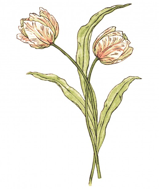 tulip-flowers-illustration.jpg